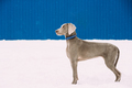 Beautiful Weimaraner Dog Standing In Snow At Winter Day. Large D