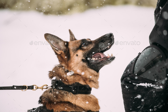 Training Of Purebred German Shepherd Young Dog Or Alsatian Wolf - Stock Photo - Images