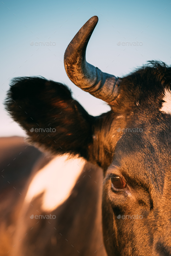 Close Up Of Black Cow Face, Snout, Eye - Stock Photo - Images