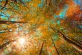 Autumn Sun Shining Through Canopy Of Tall Maple Trees. Upper Bra