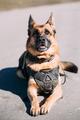 German Sheepdog Alsatian Wolf Dog Wearing In Special Training Cl