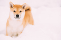 Young Japanese Small Size Shiba Inu Dog Play Outdoor In Snow, Sn