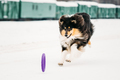 Shetland Sheepdog, Sheltie, Collie Playing With Ring And Fast Ru