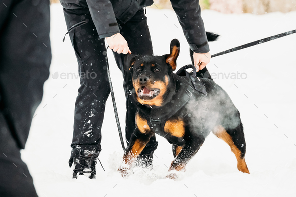 Training Of Rottweiler Metzgerhund Adult Dog. Attack And Defence - Stock Photo - Images