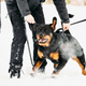Training Of Rottweiler Metzgerhund Adult Dog. Attack And Defence - PhotoDune Item for Sale