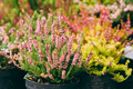 Bush Of Calluna Plant With Pink Flower In Pot In Store Market