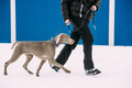 Weimaraner Dog Walking Near Human In Snow At Winter Day. Large D