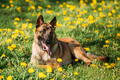 Malinois Belgian Shepherd Dog Resting In Green Grass