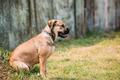 Ca De Bou Or Perro De Presa Mallorquin Puppy Sit Outdoor On Gree