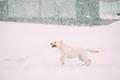 Labrador Dog Play Run Outdoor In Snow, Winter Season