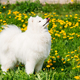 Young Happy Smiling White Samoyed Dog Or Bjelkier, Smiley, Sammy - PhotoDune Item for Sale
