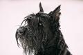 Portrait Of  Young Black Giant Schnauzer Or Riesenschnauzer Dog