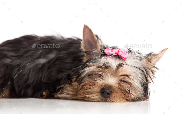 Cute yorkshire terrier puppy asleep - Stock Photo - Images