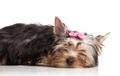 Cute yorkshire terrier puppy asleep