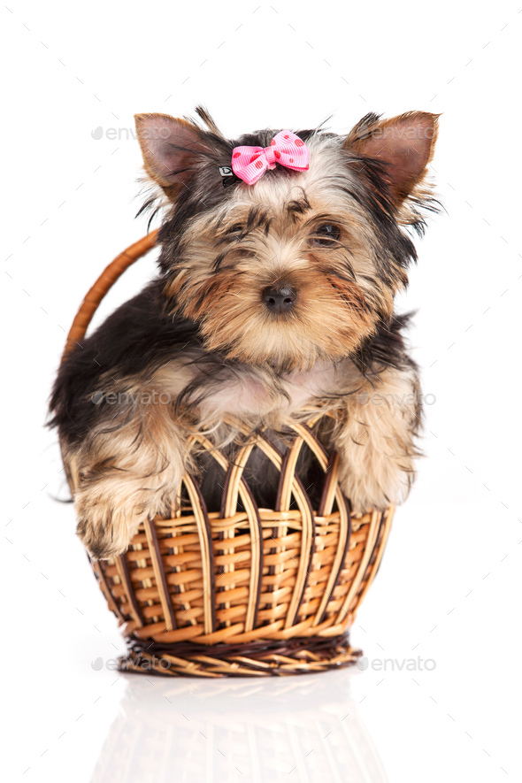 ute yorkshire terrier puppy in a basket isolated over white - Stock Photo - Images