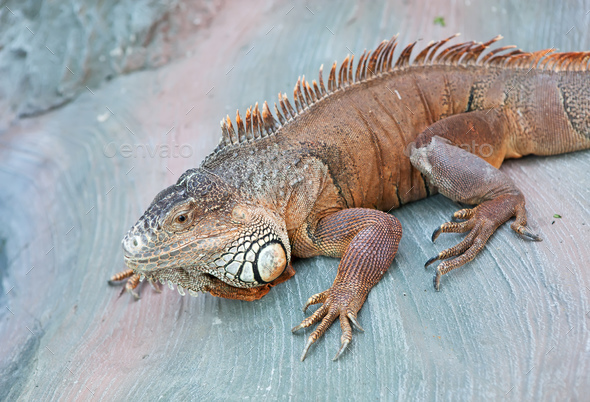 Green Iguana in a zoo - Stock Photo - Images