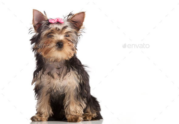 Cute yorkshire terrier puppy isolated over white - Stock Photo - Images