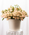 Bunch of creamy roses in a bucket over white background
