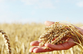 The wheat ears in farmer's hands close-up sunset time - PhotoDune Item for Sale