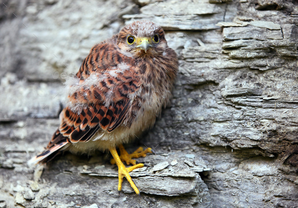 Young common kestrel sitting on a rock - Stock Photo - Images