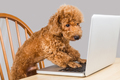 Smart brown poodle dog typing and reading laptop computer on table