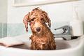 Wet poodle puppy taking bath in basin