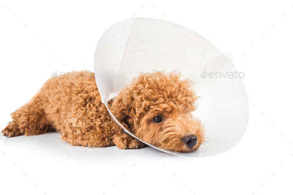 Sad poodle dog wearing protective cone collar on her neck - Stock Photo - Images