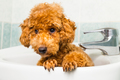 Curious brown poodle puppy getting ready for bath in basin