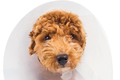Close-up on sad poodle dog wearing protective cone collar on her neck