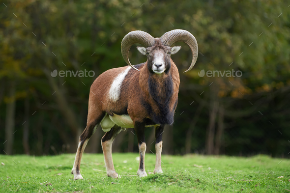 Big european moufflon in the meadow - Stock Photo - Images