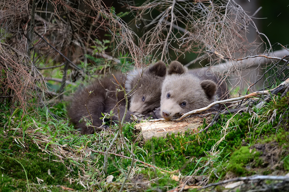 Brown bear cub - Stock Photo - Images