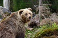 Young brown bear in the forest