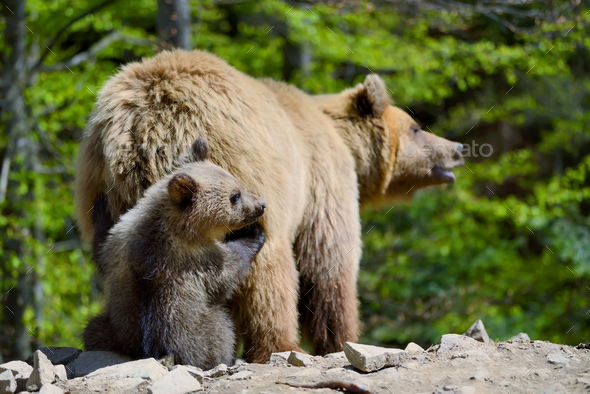 Brown bear and cub - Stock Photo - Images