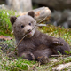 Brown bear cub - PhotoDune Item for Sale