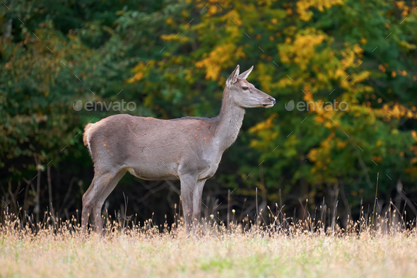 Female Red deer in the natural environment - Stock Photo - Images