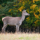 Female Red deer in the natural environment - PhotoDune Item for Sale