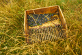 Picking wild blueberries - PhotoDune Item for Sale