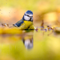 Blue tit in water yellow autumn background - PhotoDune Item for Sale