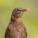 Female blackbird headshot - PhotoDune Item for Sale