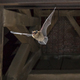 Flying pipistrelle bat in church tower - PhotoDune Item for Sale