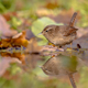 Water Reflection Eurasian wren autumn colored leaves - PhotoDune Item for Sale