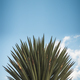 Large Agave Plant - PhotoDune Item for Sale