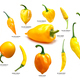 Yellow Capsicum pods, different spp, paths - PhotoDune Item for Sale