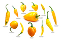 Yellow Capsicum pods, different spp, paths