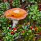 Mushroom with orange cap in the finnish forest. Russula emetica  - PhotoDune Item for Sale