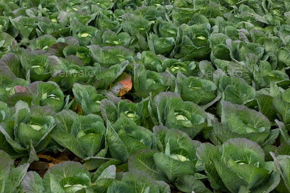 Freshly harvested cabbage - Stock Photo - Images