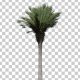CanaryIsland Palm Tree