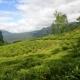 Tea Field of Nuwara Eliya - VideoHive Item for Sale
