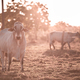 Cattle Breeding Outdoors - PhotoDune Item for Sale