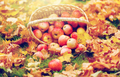 wicker basket of ripe red apples at autumn garden - PhotoDune Item for Sale
